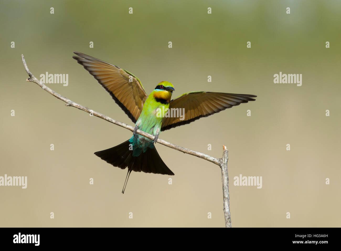 Rainbow Bee-eater - coming in to land Merops ornatus Gold Coast Queensland, Australia BI029235 - Stock Image