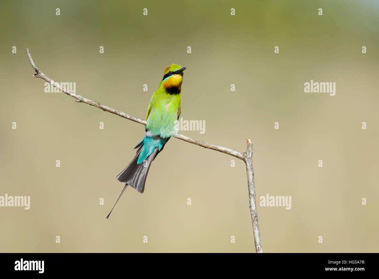 Rainbow Bee-eater - calling Merops ornatus Gold Coast Queensland, Australia BI029238 - Stock Image