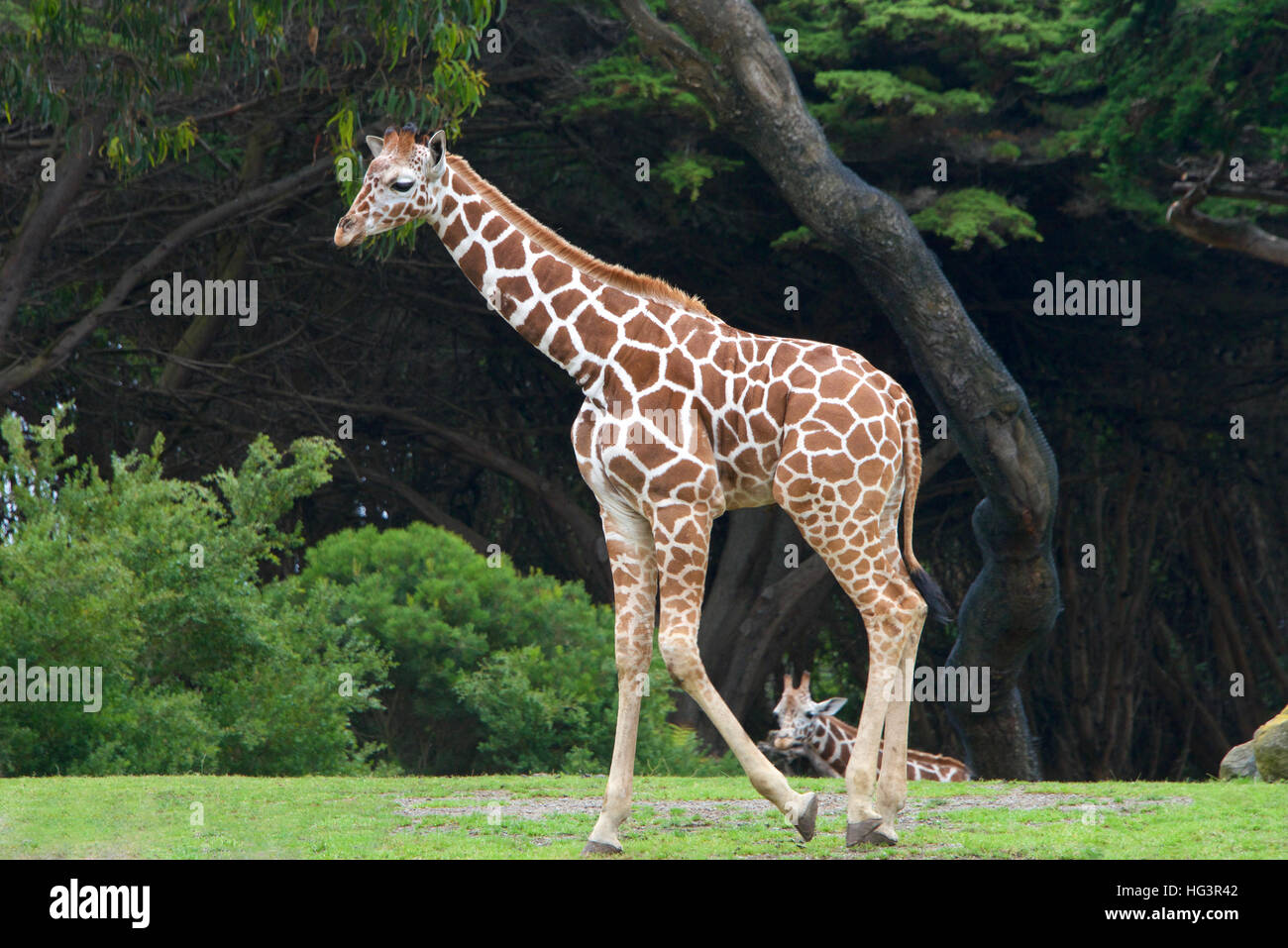 giraffe walking on grass with bushes and tall trees in background, another giraffe in the distance seen between - Stock Image