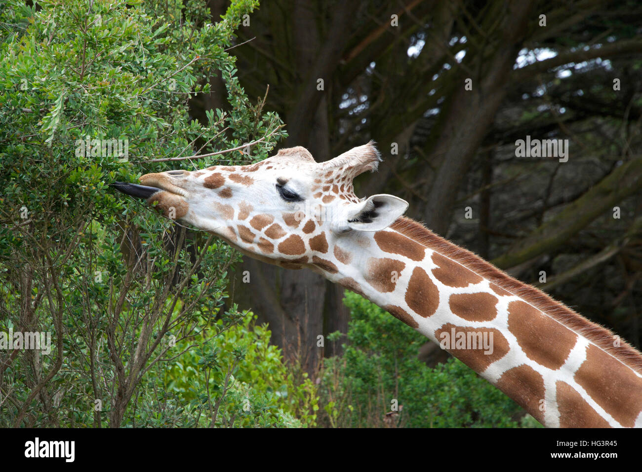 giraffe eating tree leaves tongue sticking out to grab leaves. - Stock Image