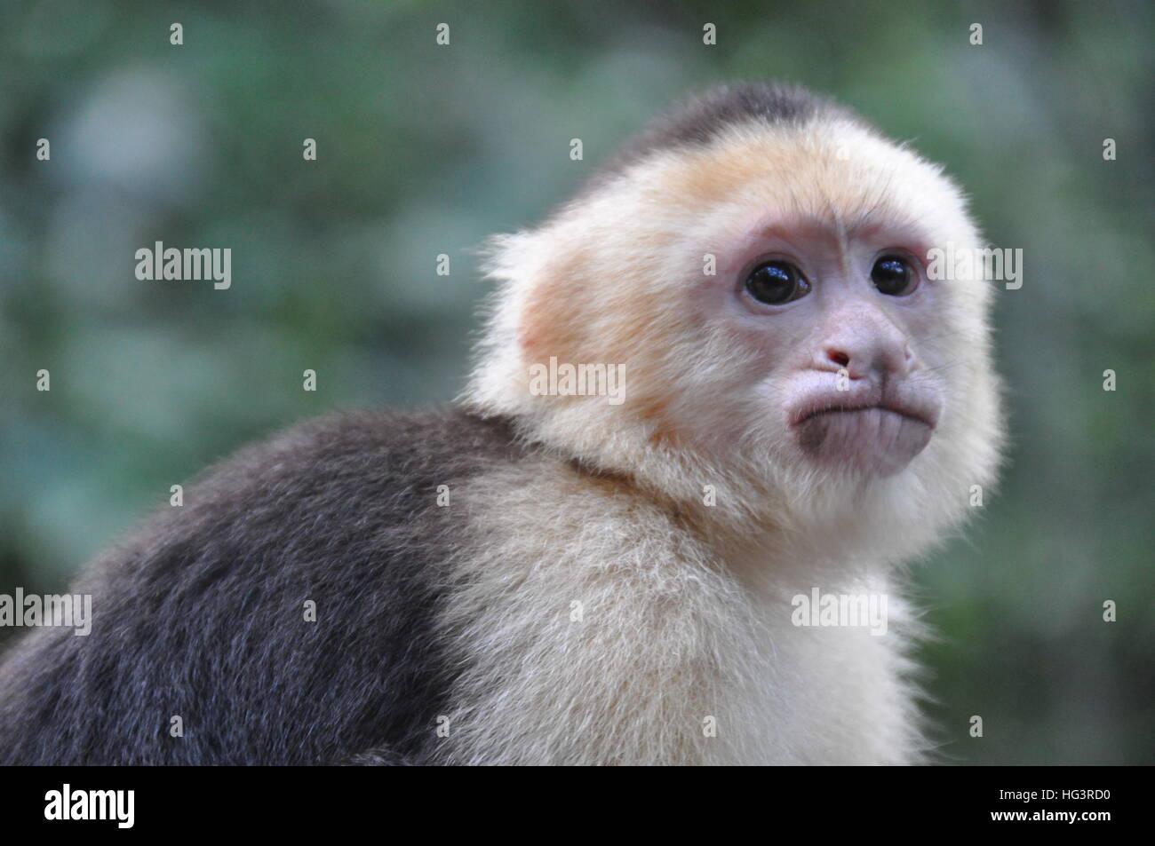 Monkey - Stock Image