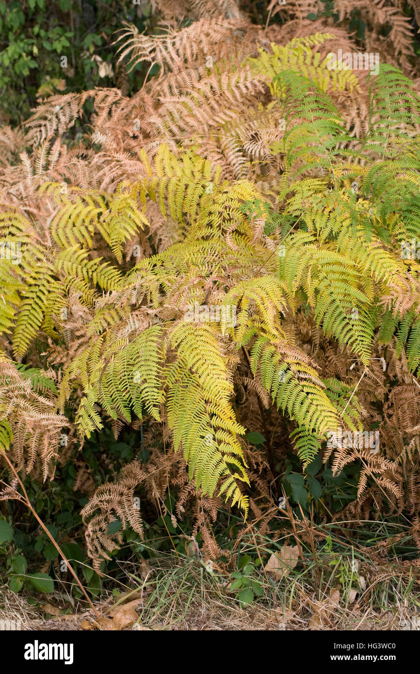 Pteridium aquilinum. Bracken leaves in early Autumn. Stock Photo