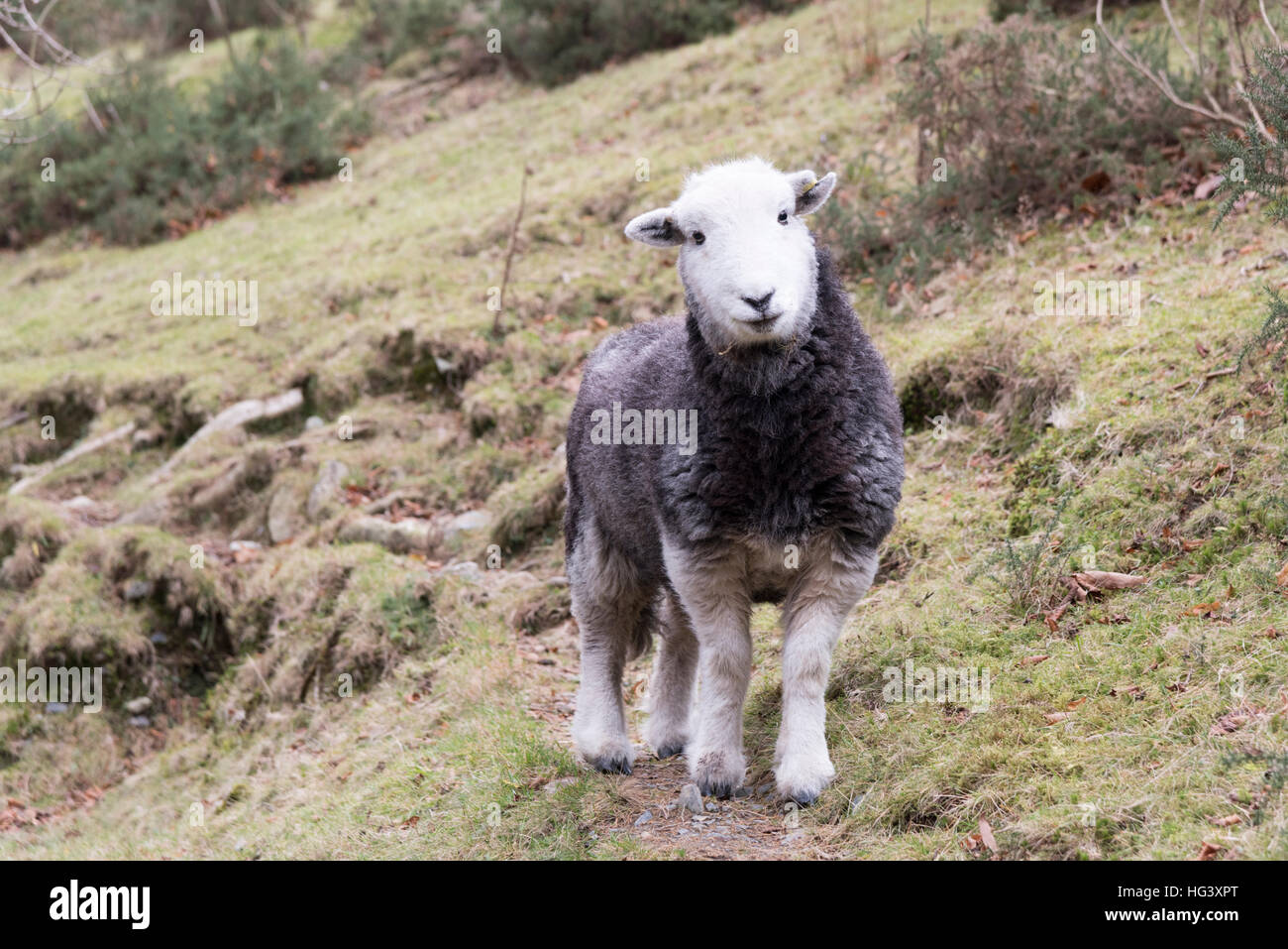 A herdwick sheep ewe looking into the camera in a field on a hill farm in the Lake District Cumbria UK - Stock Image