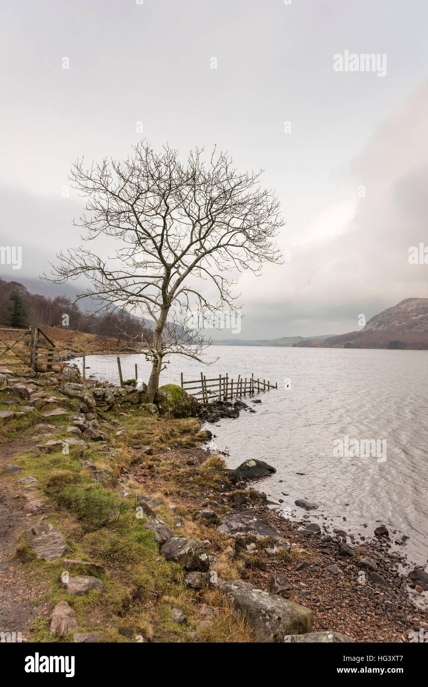 The wild winter landscape of a tree on the shore of Ennerdale on in bad weather on an overcast winter day in the - Stock Image