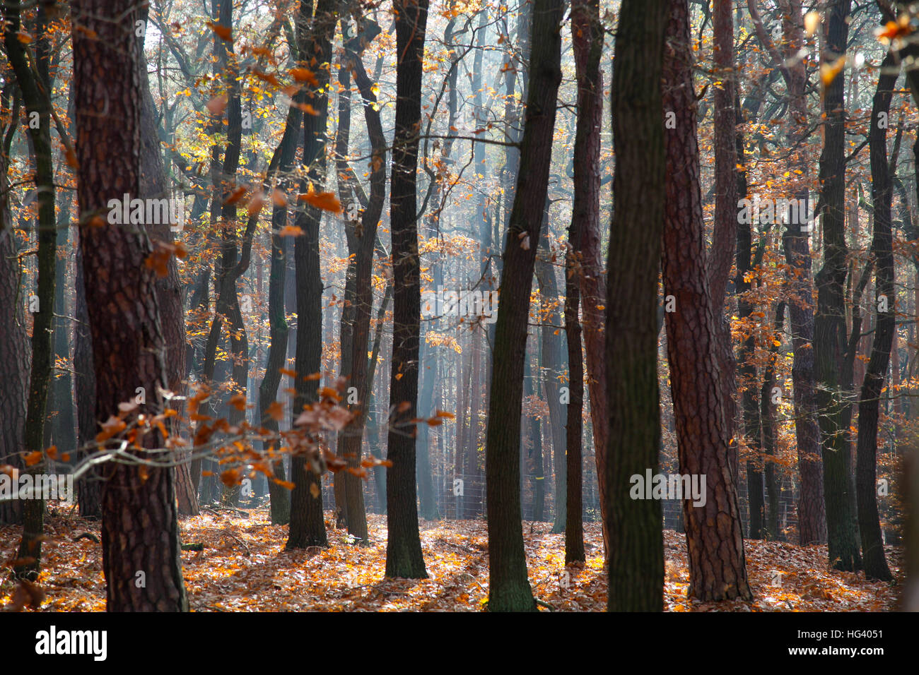 Trees in the forest in Autumn. - Stock Image