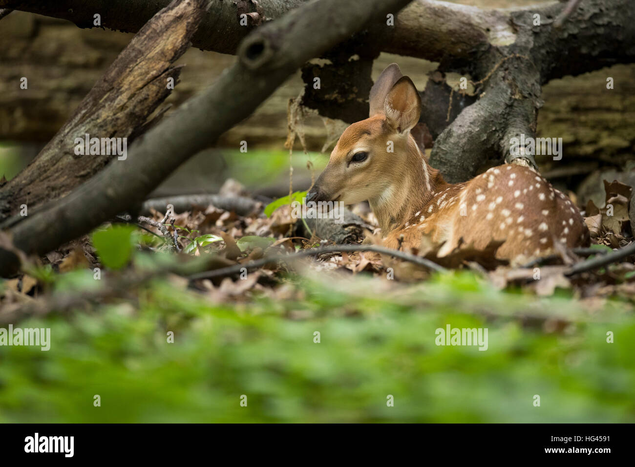 A fawn whitetail deer bedded in the woods. - Stock Image