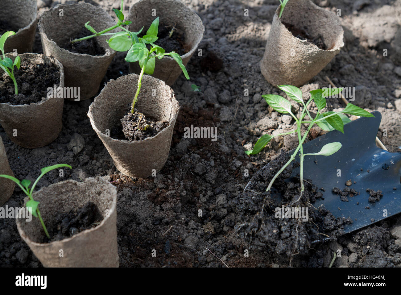 Planting young peppers seedlings in peat pots on soil background. Agriculture homegrown food vegetables, sustainable - Stock Image