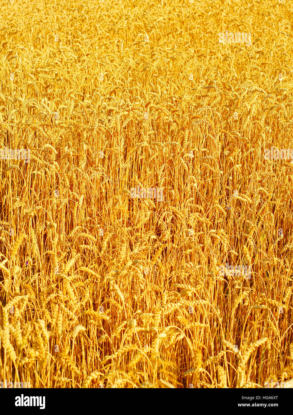 Beautiful wheat field in the sunset light. background - Stock Image