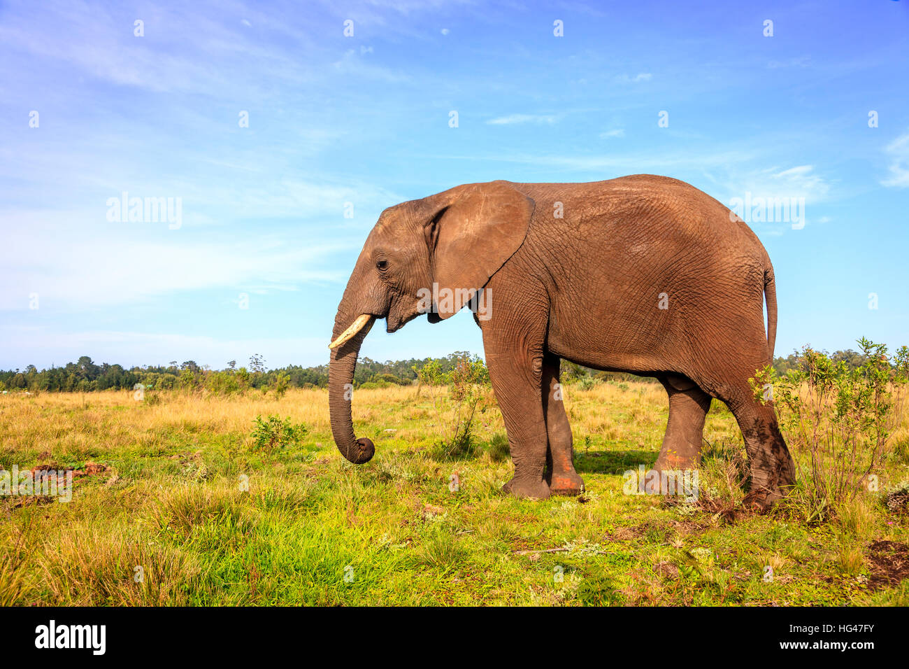 Young rescued elephant in Knysna Elephant Park, South Africa - Stock Image