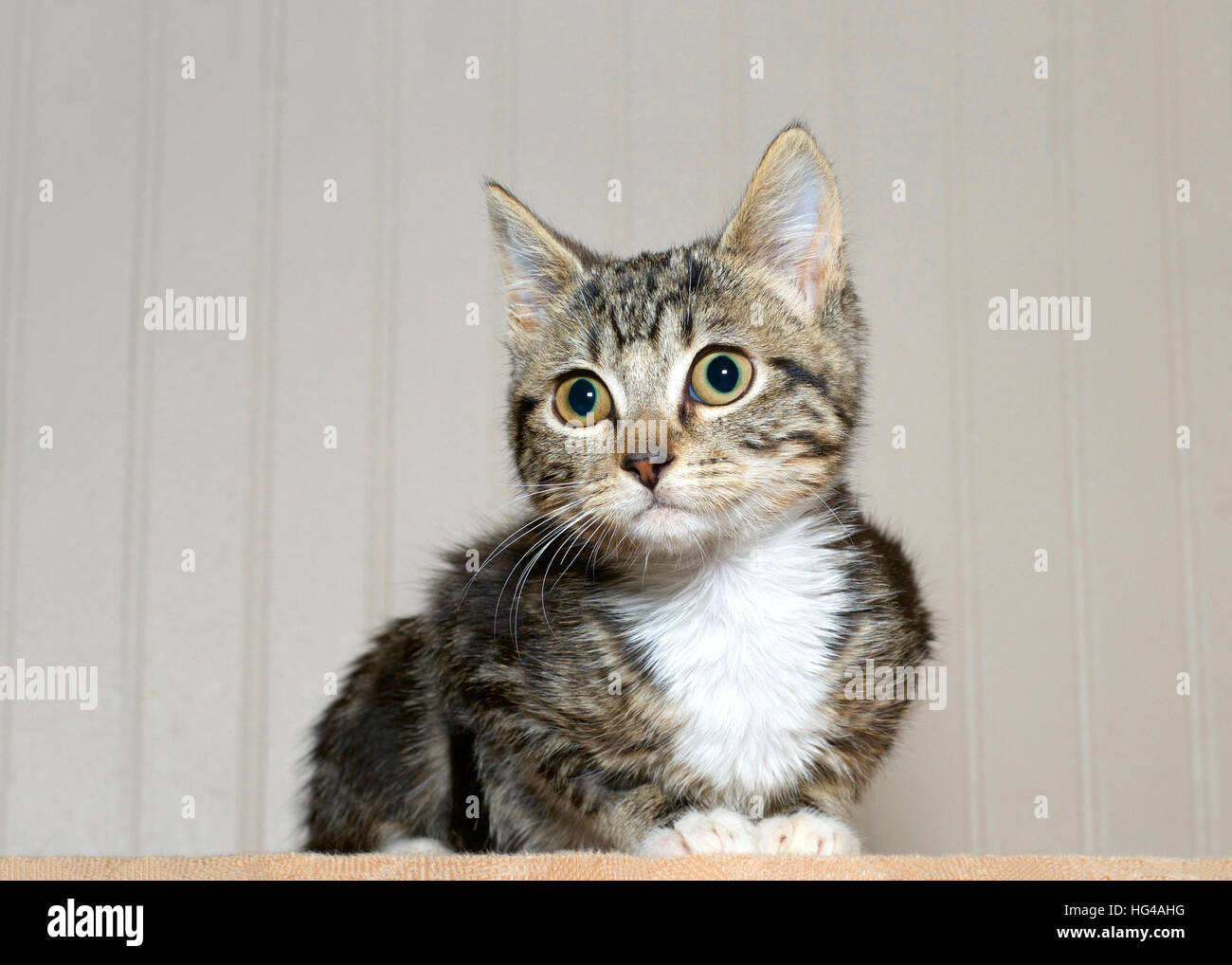 gray and black striped tabby kitten with white chest and