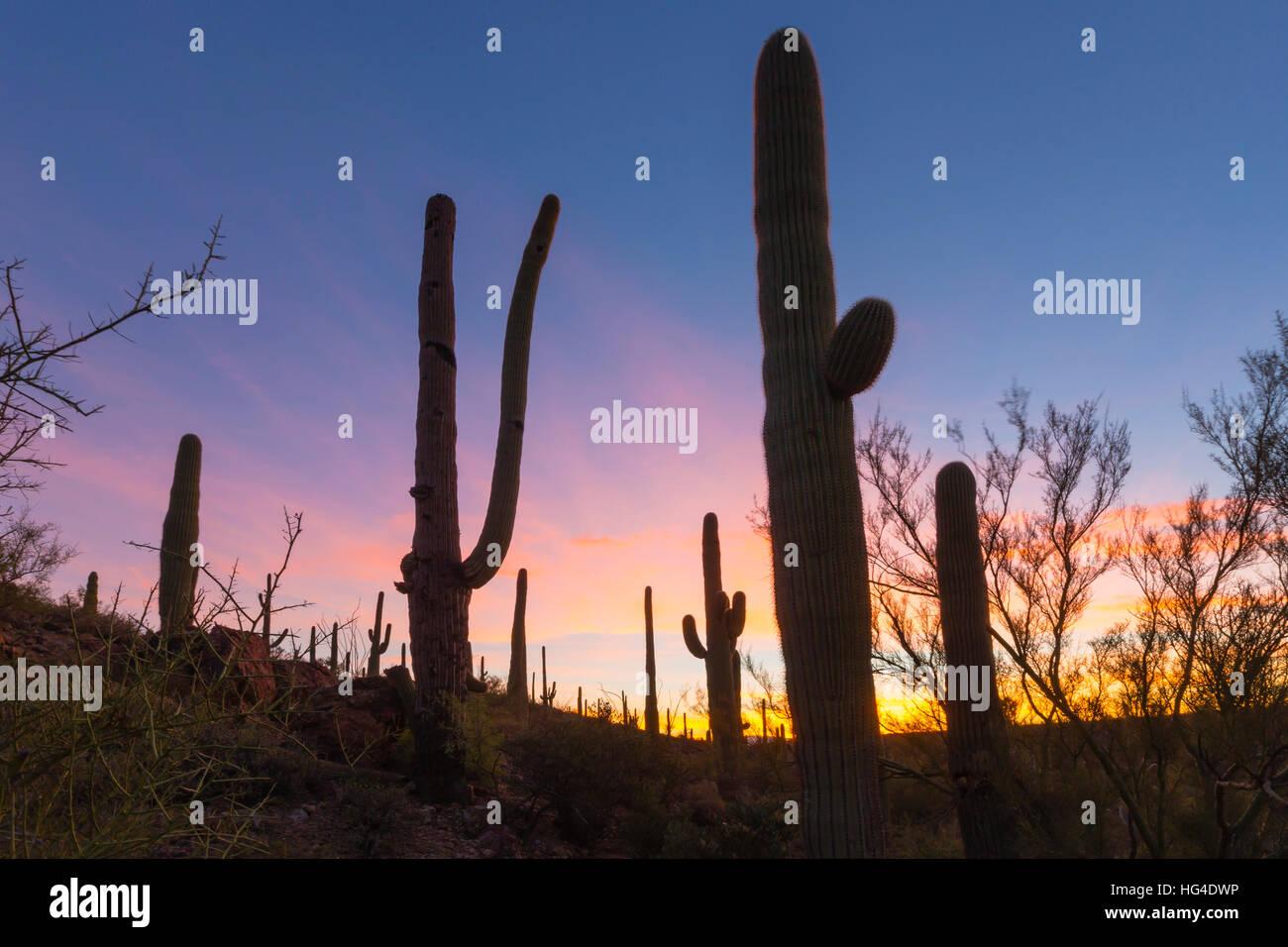 Giant saguaro cactus (Carnegiea gigantea) at dawn in the Sweetwater Preserve, Tucson, Arizona, USA, North America - Stock Image