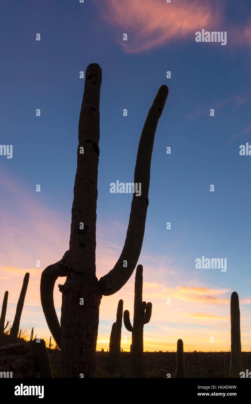 Giant saguaro cactus (Carnegiea gigantea), at dawn in the Sweetwater Preserve, Tucson, Arizona, USA, North America - Stock Image