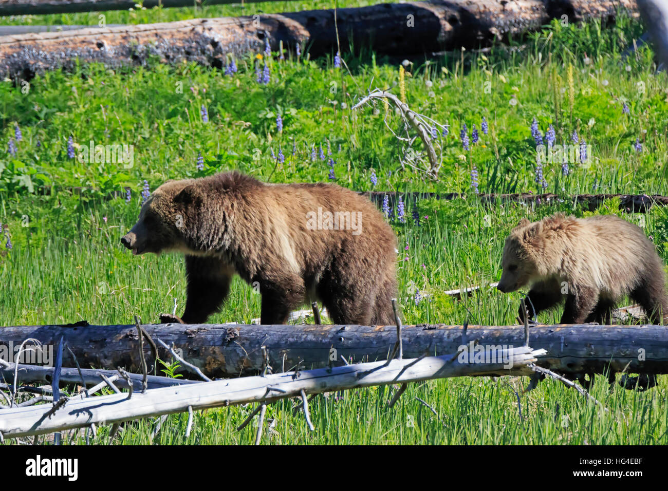 North American Brown Bear, Ursus arctos horribilis, sow with cub in Yellowstone National Park Stock Photo