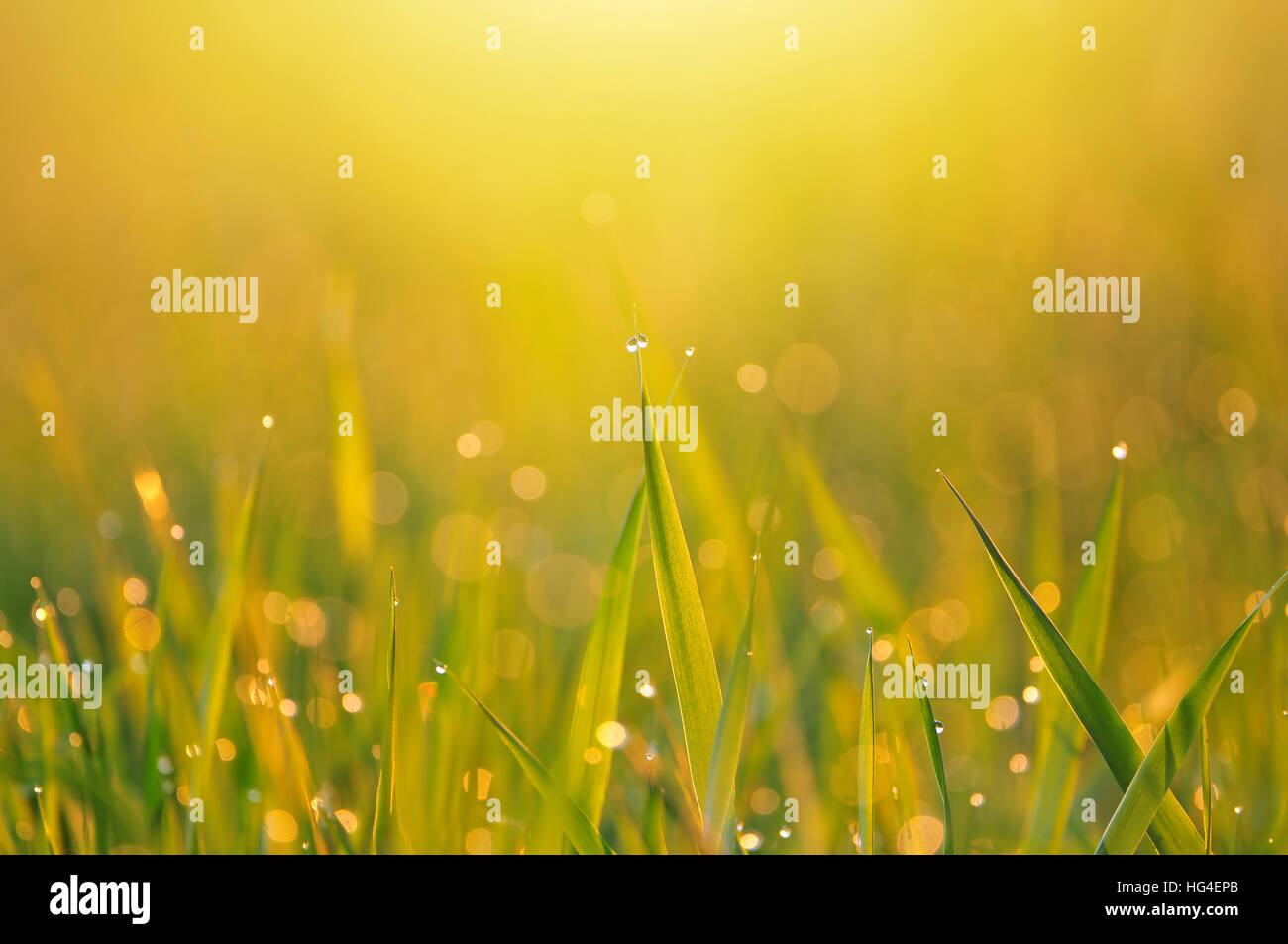 Grass and morning dew in warm early morning light - Stock Image