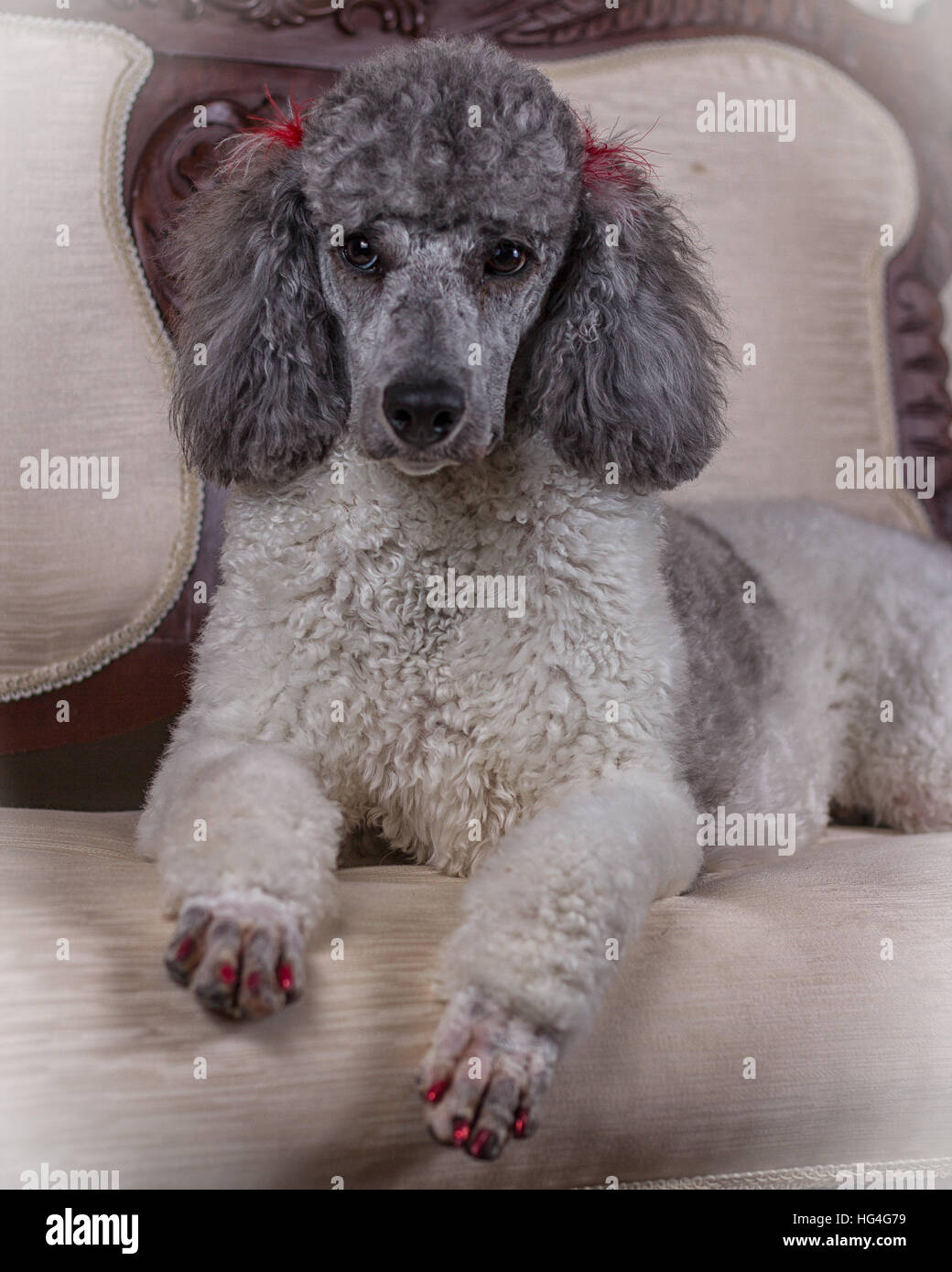 poodle dog on couch - Stock Image
