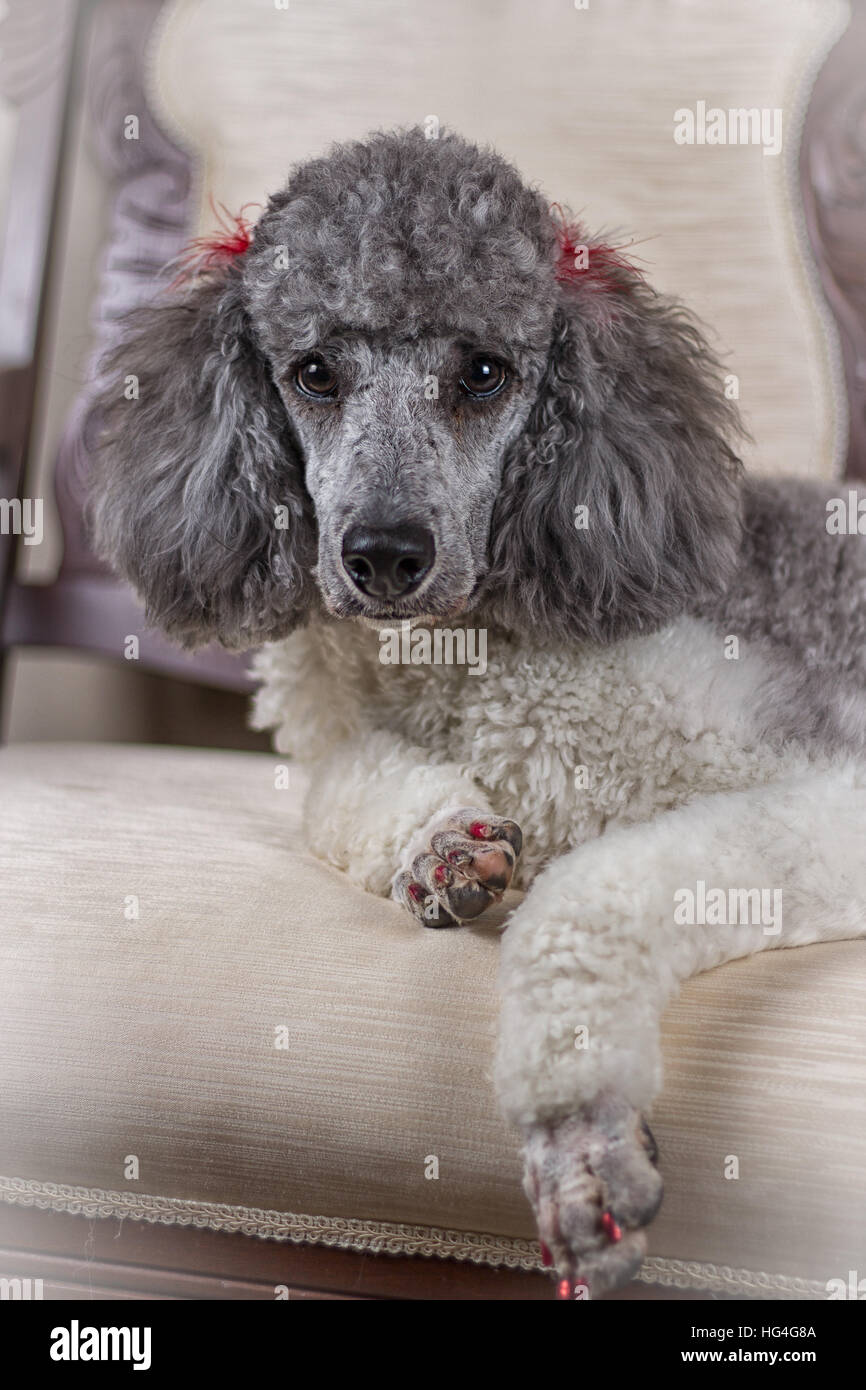 poodle posing on couch - Stock Image