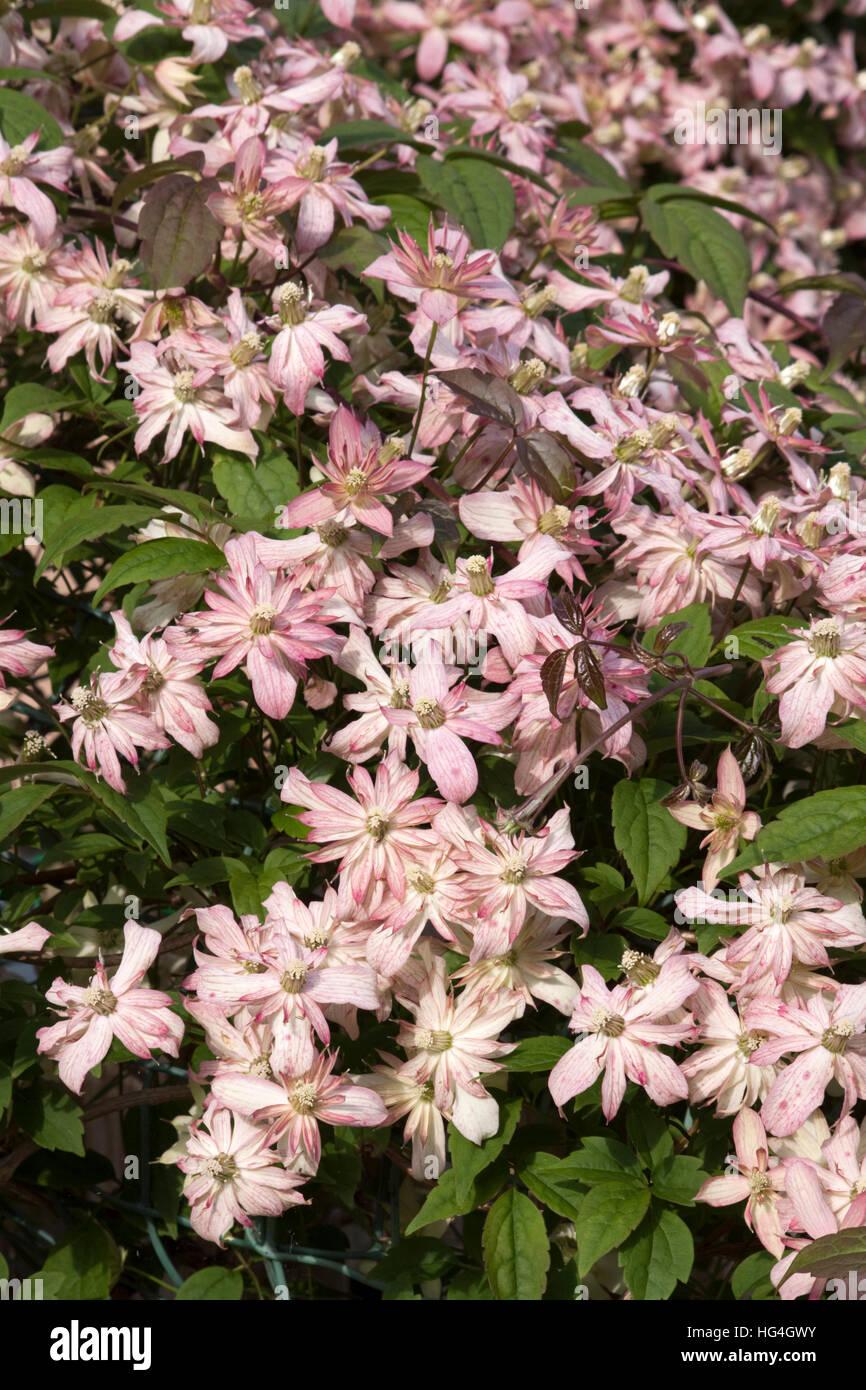 Pink Clematis Marjorie ( Ranunculaceae) - Stock Image