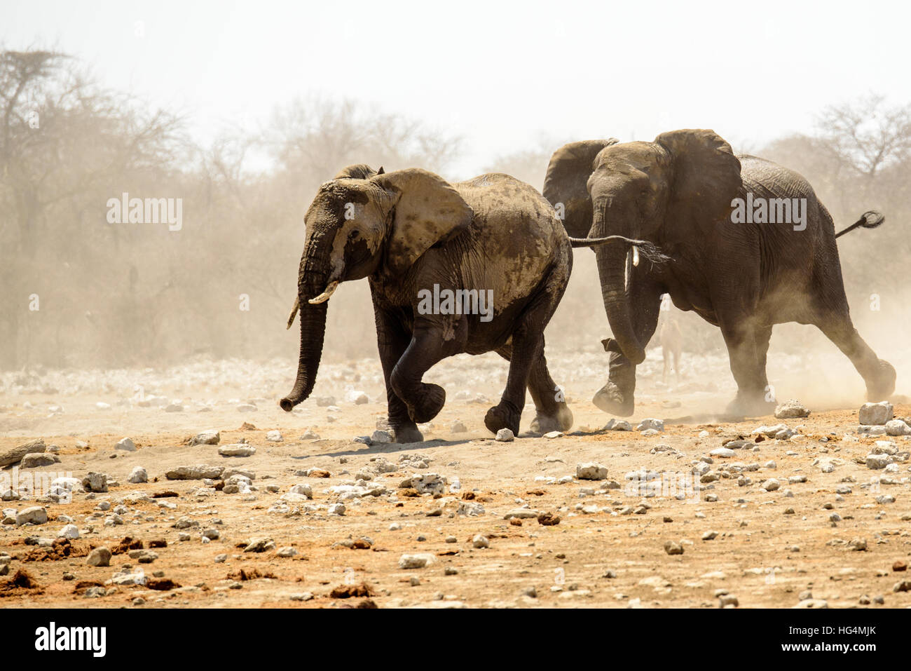 Big Elephant chasing off a rival - Stock Image