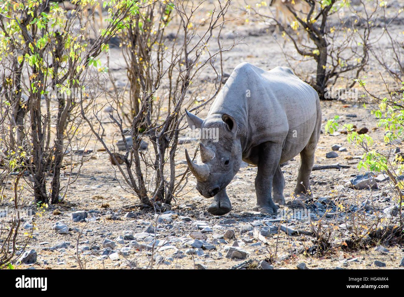 Rhino wandering through the bush - Stock Image