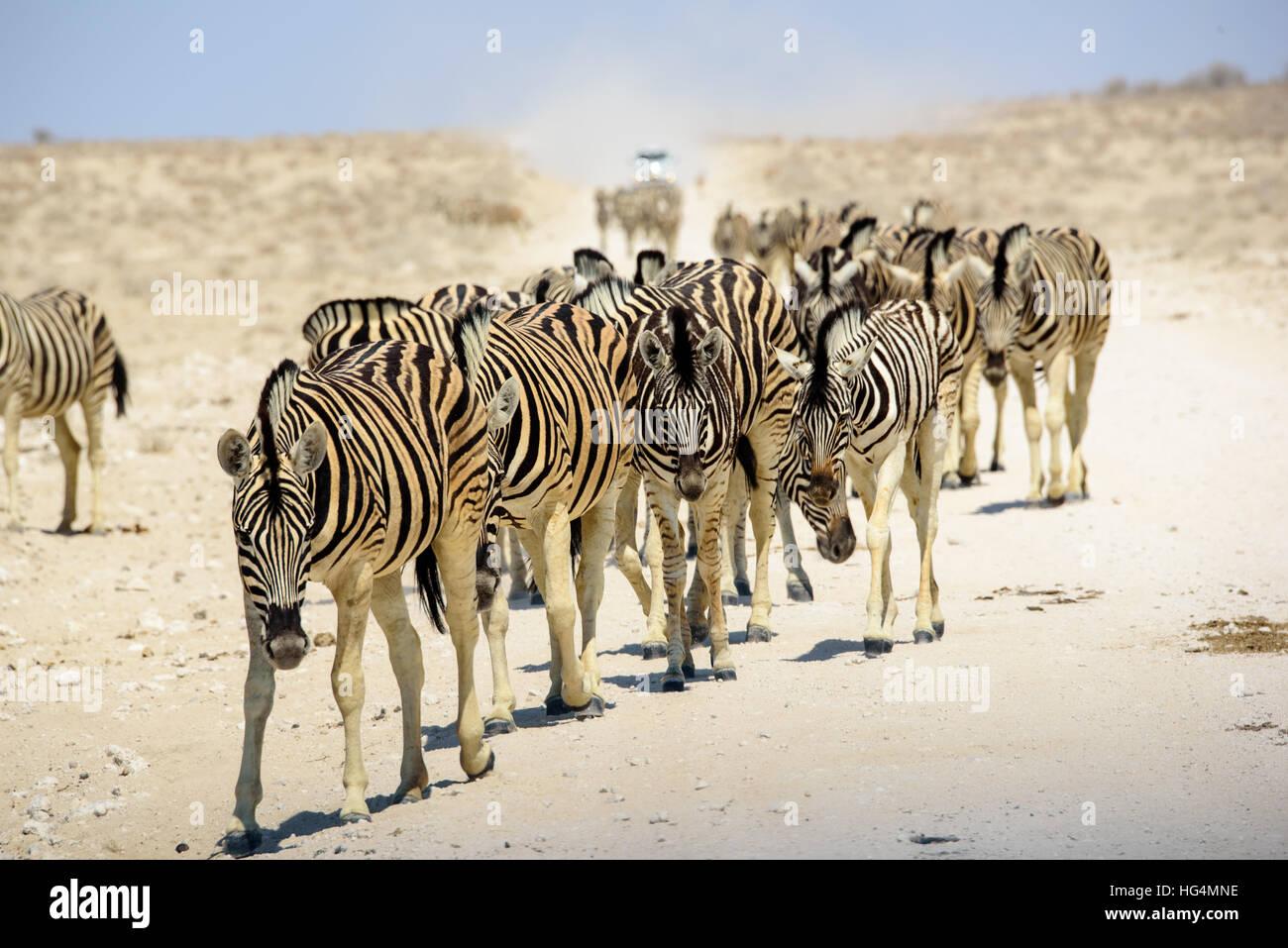 Herd of  Zebra approaching - Stock Image