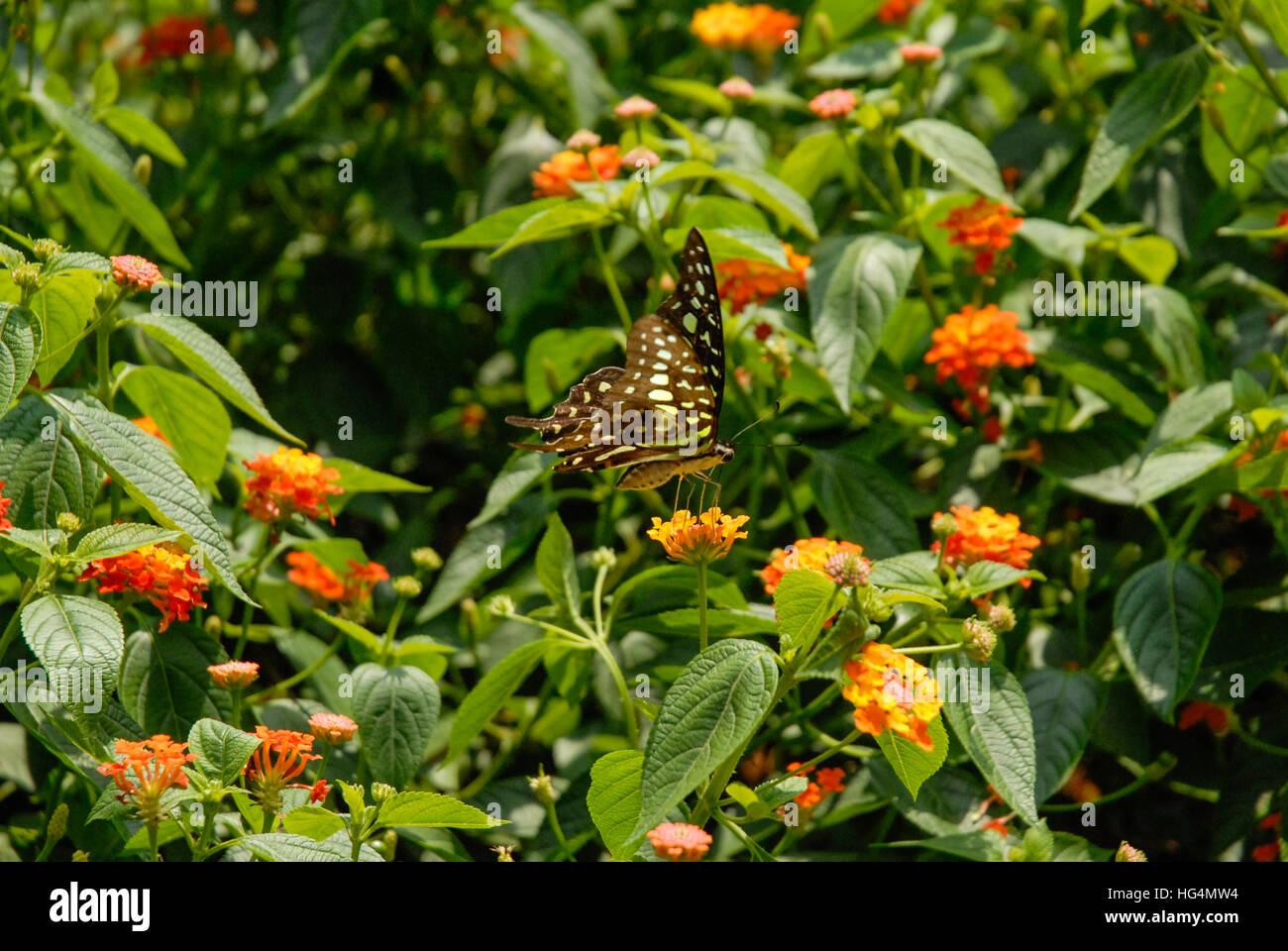 Swallowtail Butterfly in Vietnam - Stock Image