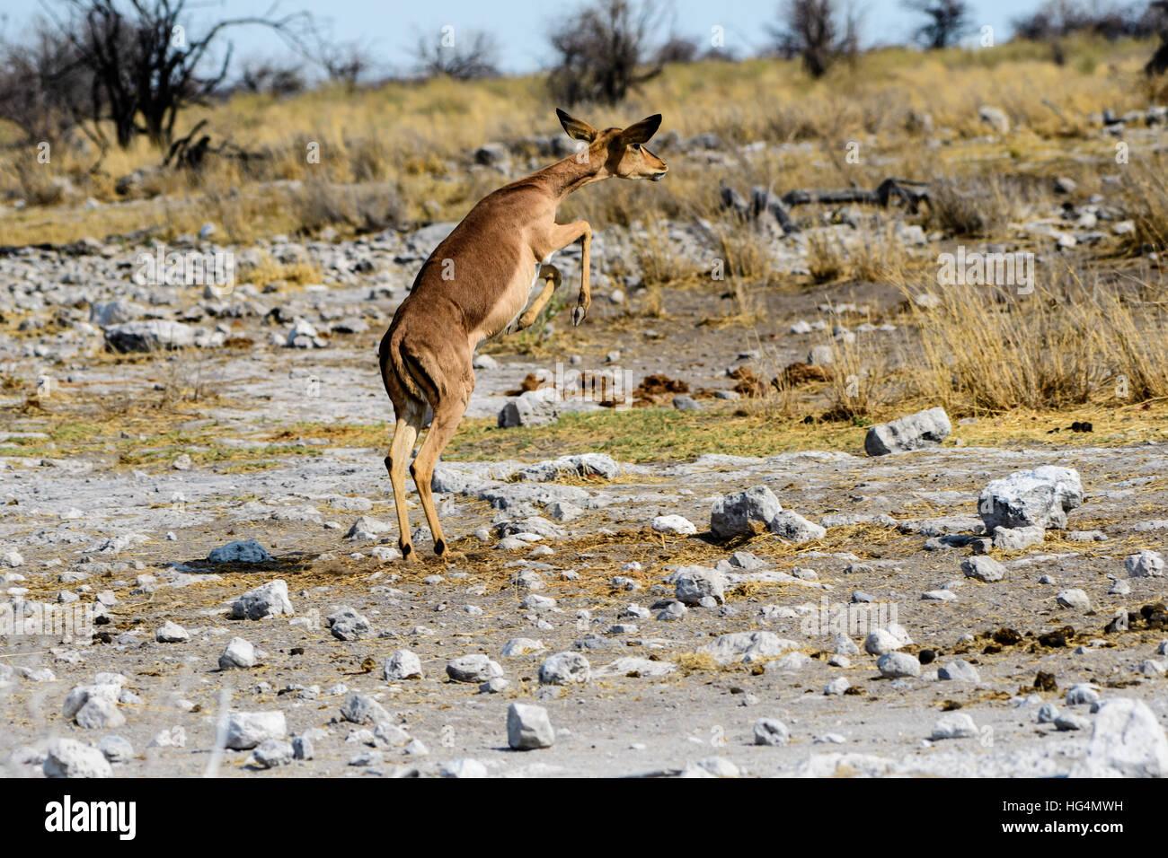 Black faced impala leaping - Stock Image