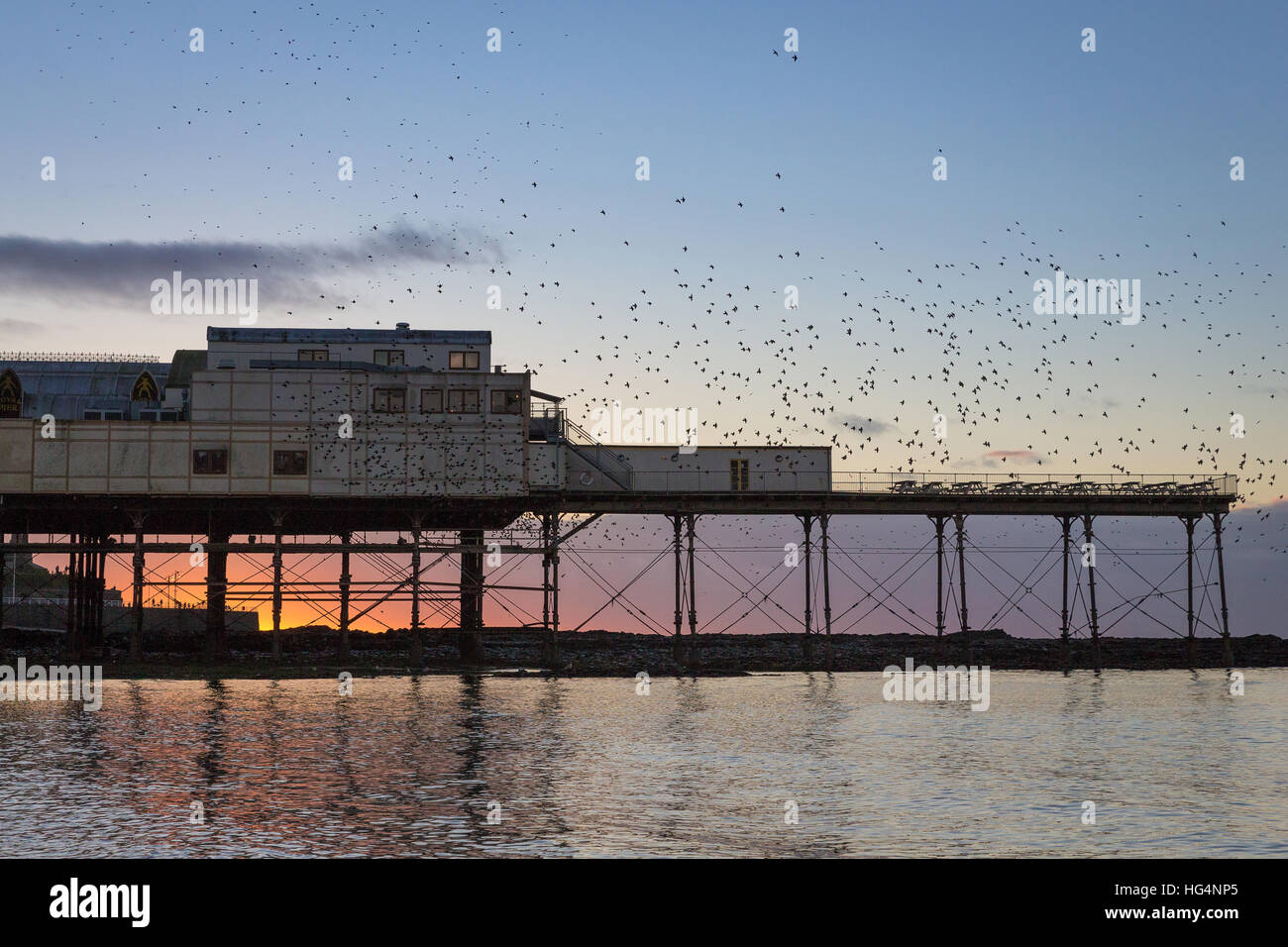 Thousands of Starlings (Sturnus vulgaris) coming in to roost on the pier in Aberystwyth, Ceredigion, Wales, UK Stock Photo