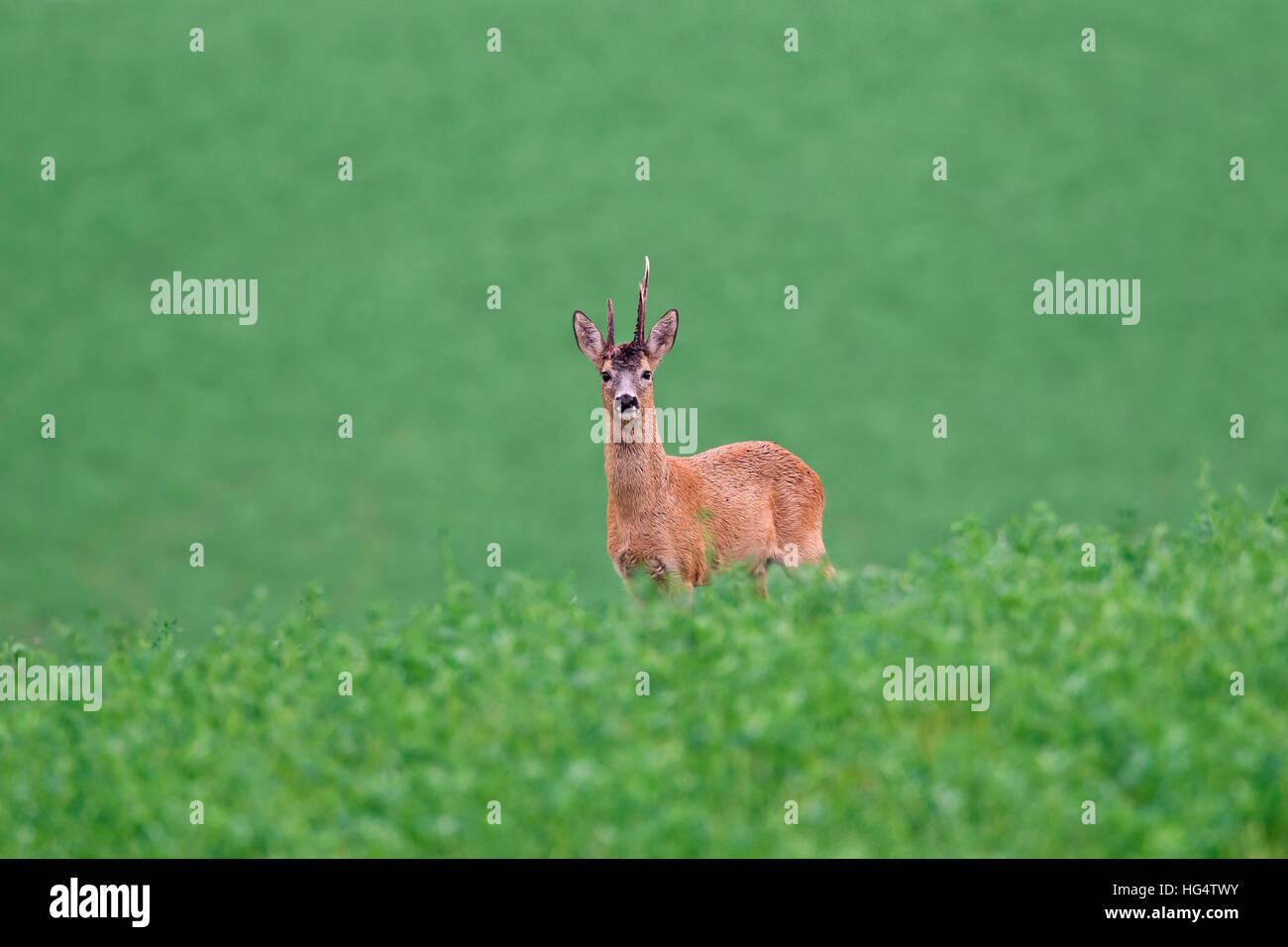 Roe deer (Capreolus capreolus) buck with deformed antler in field in summer - Stock Image