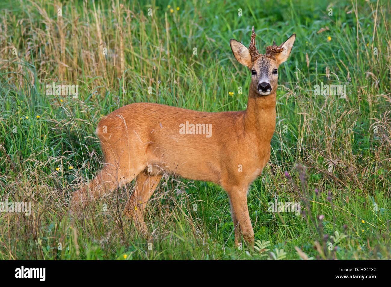 Roe deer (Capreolus capreolus) buck with two deformed antlers in field in summer - Stock Image