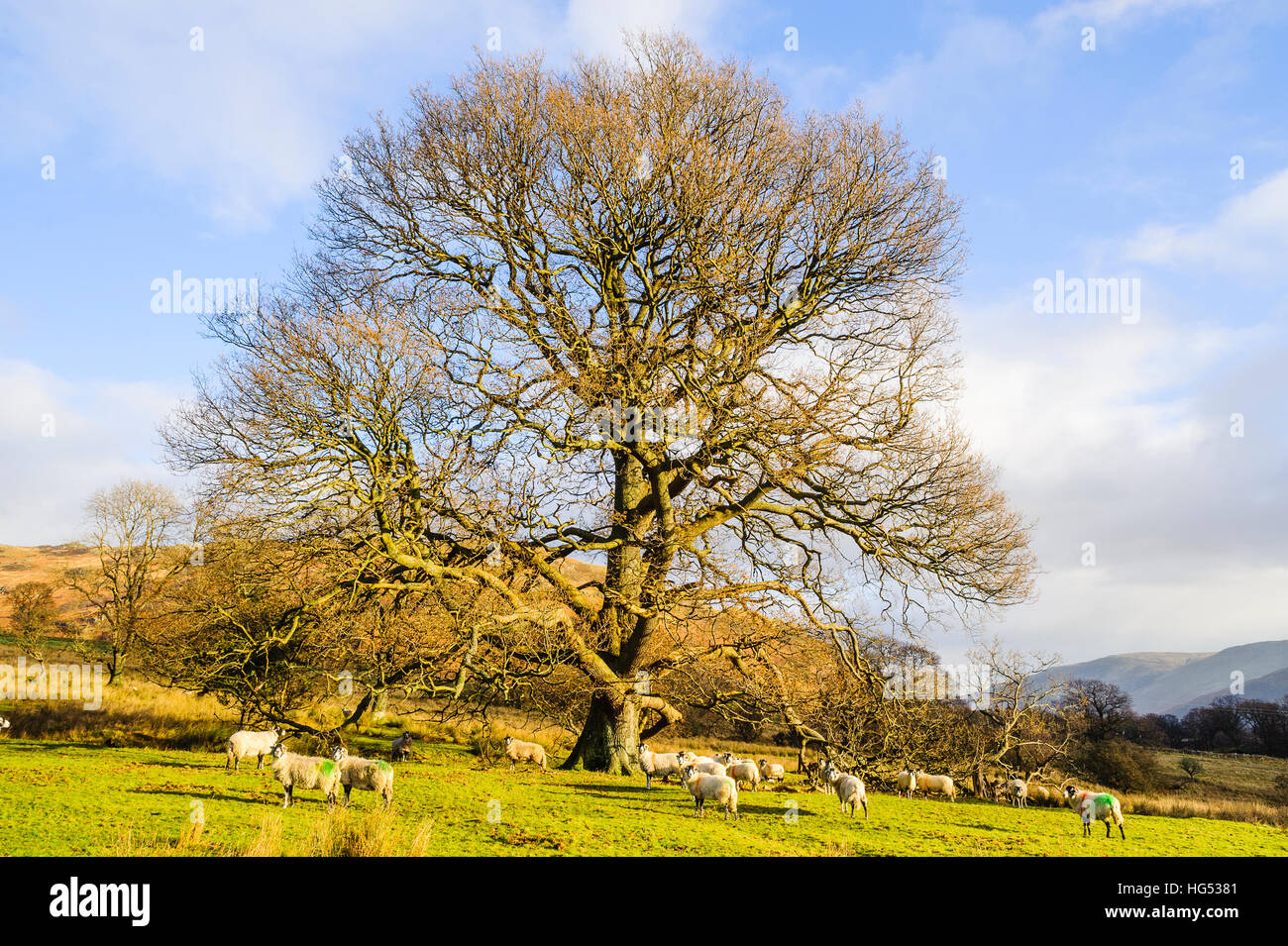 Sheep and oak tree at Glencoyne Park above Ullswater in the Lake District Stock Photo