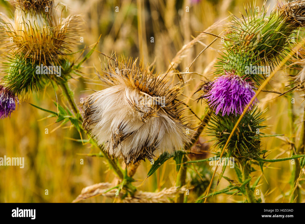 Thistledown on Spear Thistle (Cirsium vulgare) - Stock Image