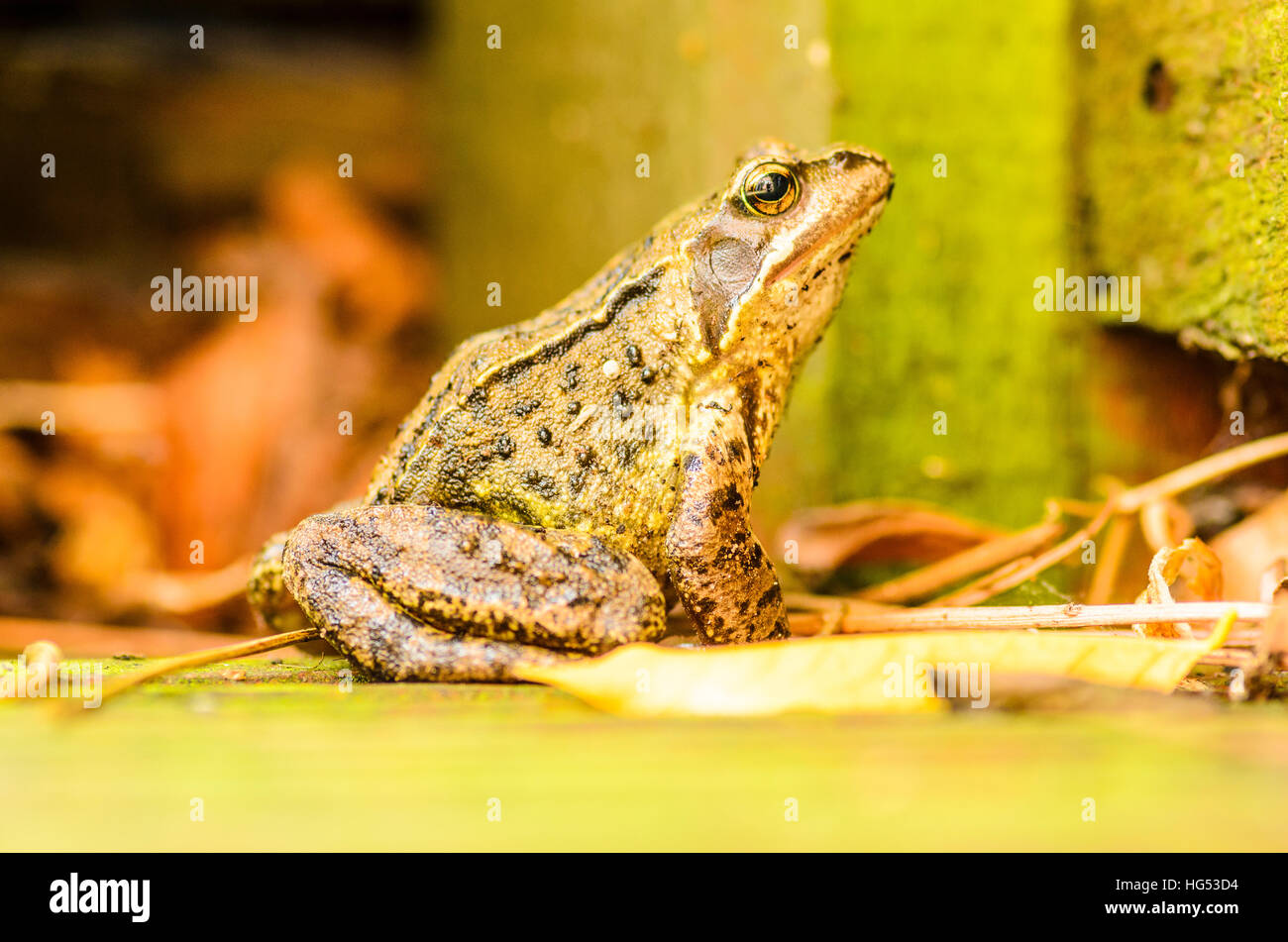 Common frog (Rana temporaria) in a Lancashire garden - Stock Image