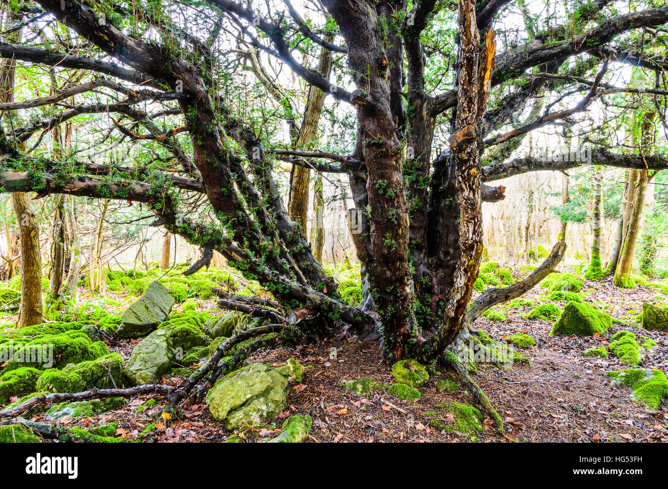 Ancient yew tree near top of Warton Crag in north Lancashire - Stock Image