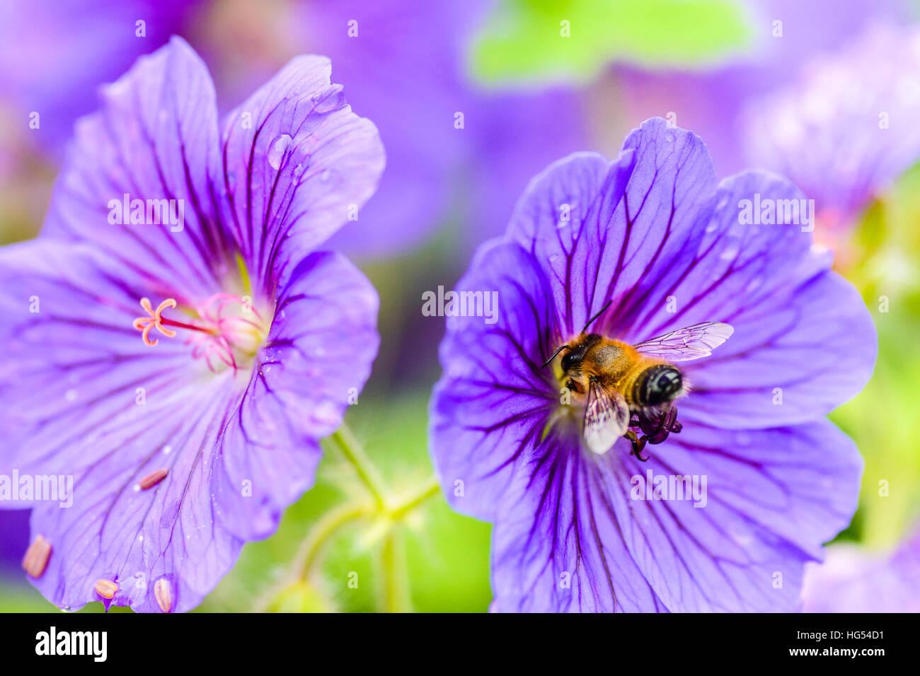 Honey-bee (Apis mellifera) on meadow cranesbill (Geranium pratense) flower Edinburgh Scotland Stock Photo