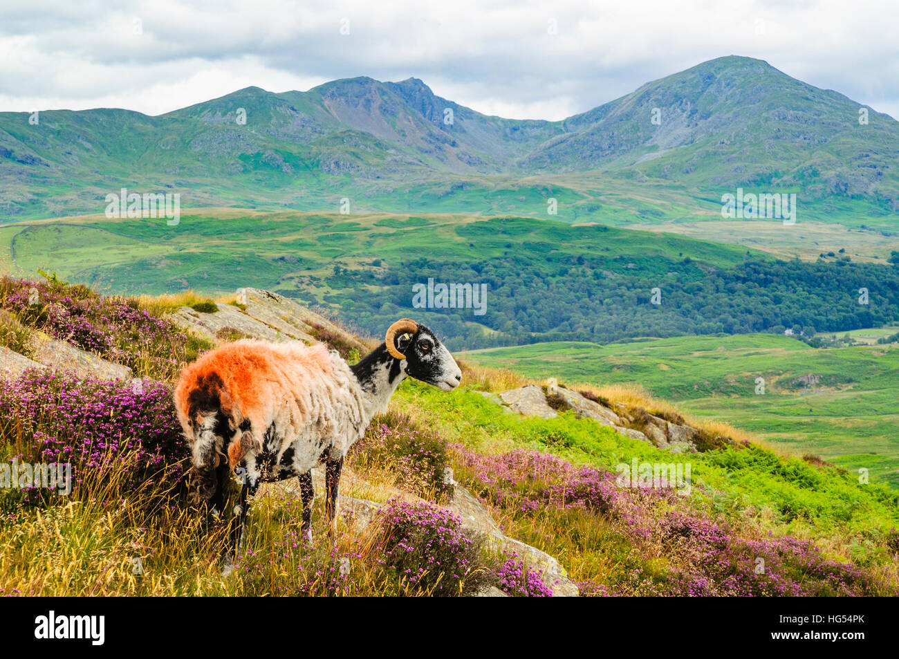Sheep on Blawith Fells in the Lake District with Dow Crag and Coniston Old Man behind - Stock Image