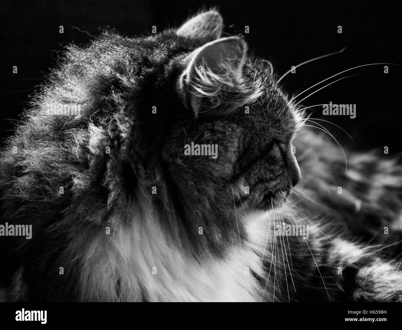 Fluffy cat II - Stock Image