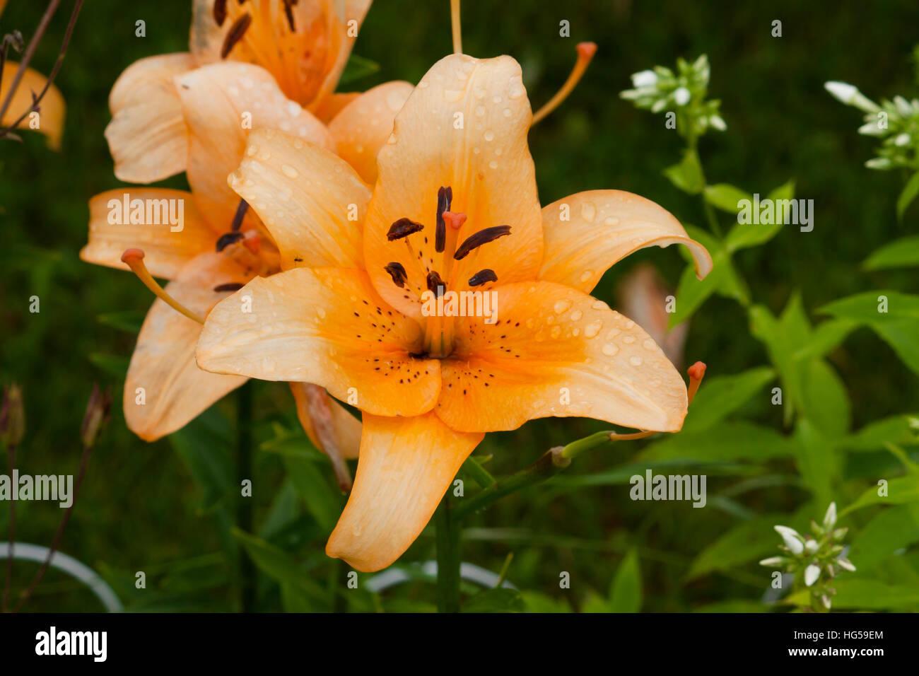 Lilium flower language stock photos lilium flower language stock beautiful orange lily flower large close up macro stock image izmirmasajfo