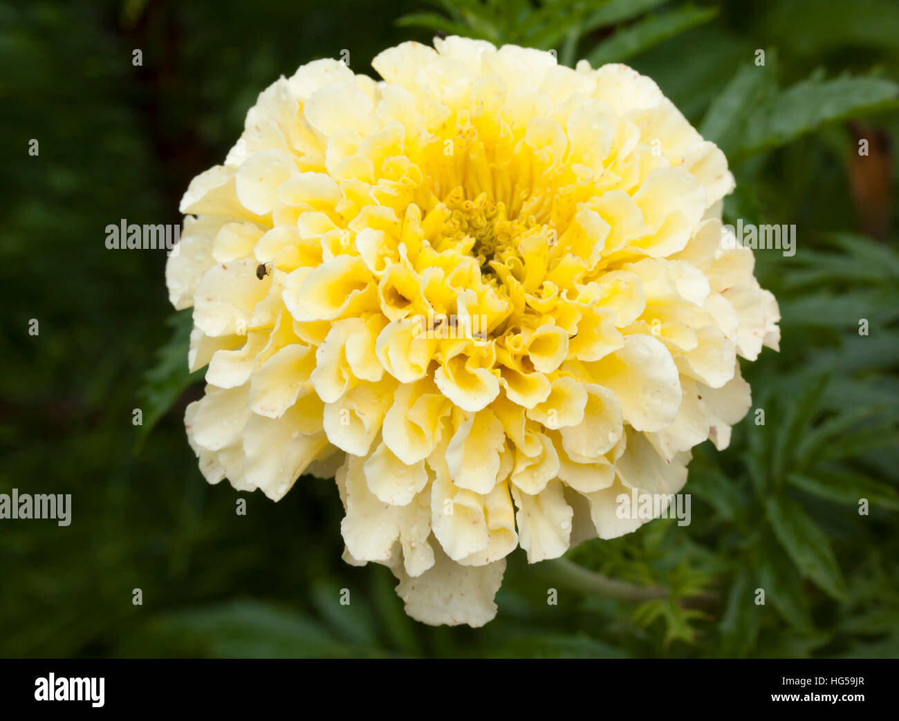 Flower Of White Marigold Large Close Up Macro Stock Photo