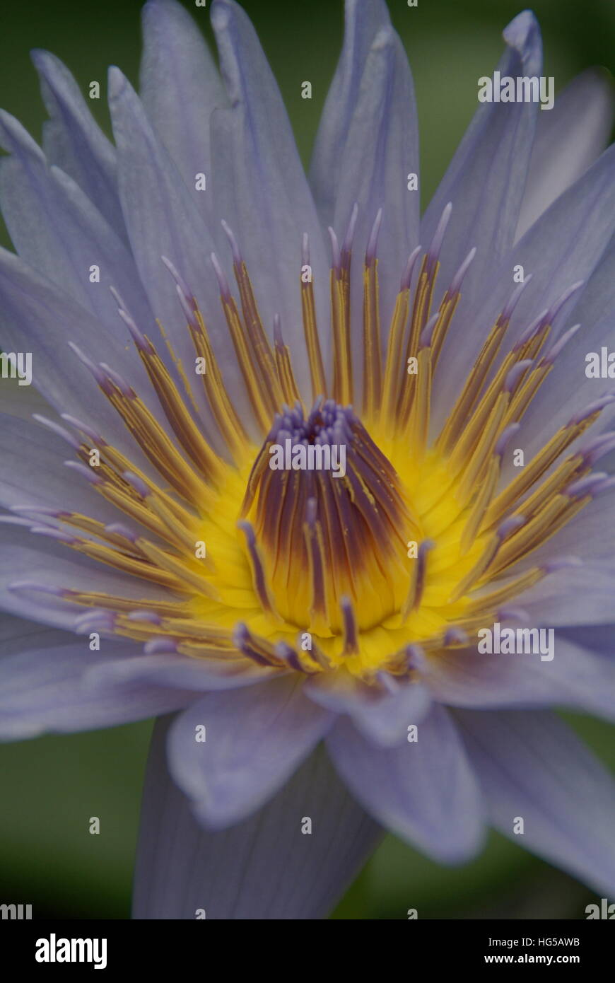 A water lily in a pond up close. - Stock Image