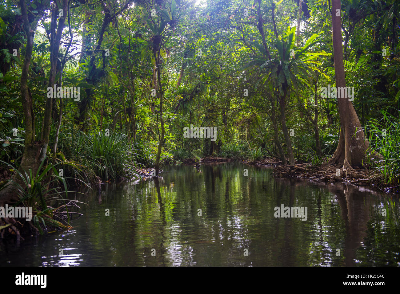 Yela Ka forest conservation area of ka trees in the Yela Valley, Kosrae, Federated States of Micronesia, South Pacific - Stock Image
