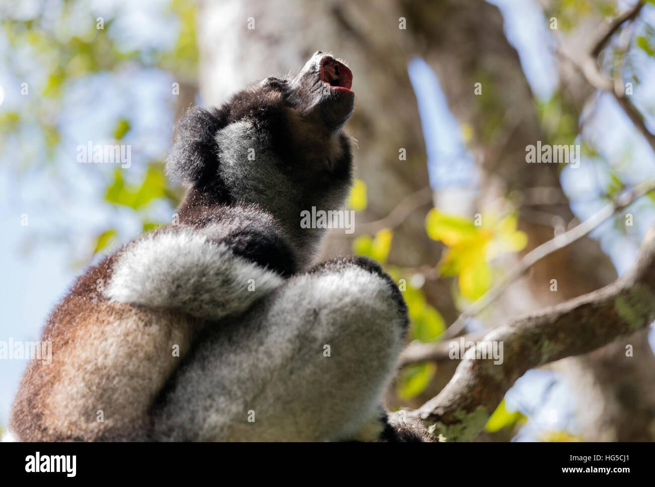 Howling Indri lemur (Indri indri), Analamazaotra Special Reserve, Andasibe, central area - Stock Image