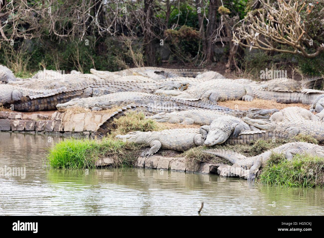 Crocodile Farm, Nile crocodile (Crocodylus niloticus), Antananarivo - Stock Image