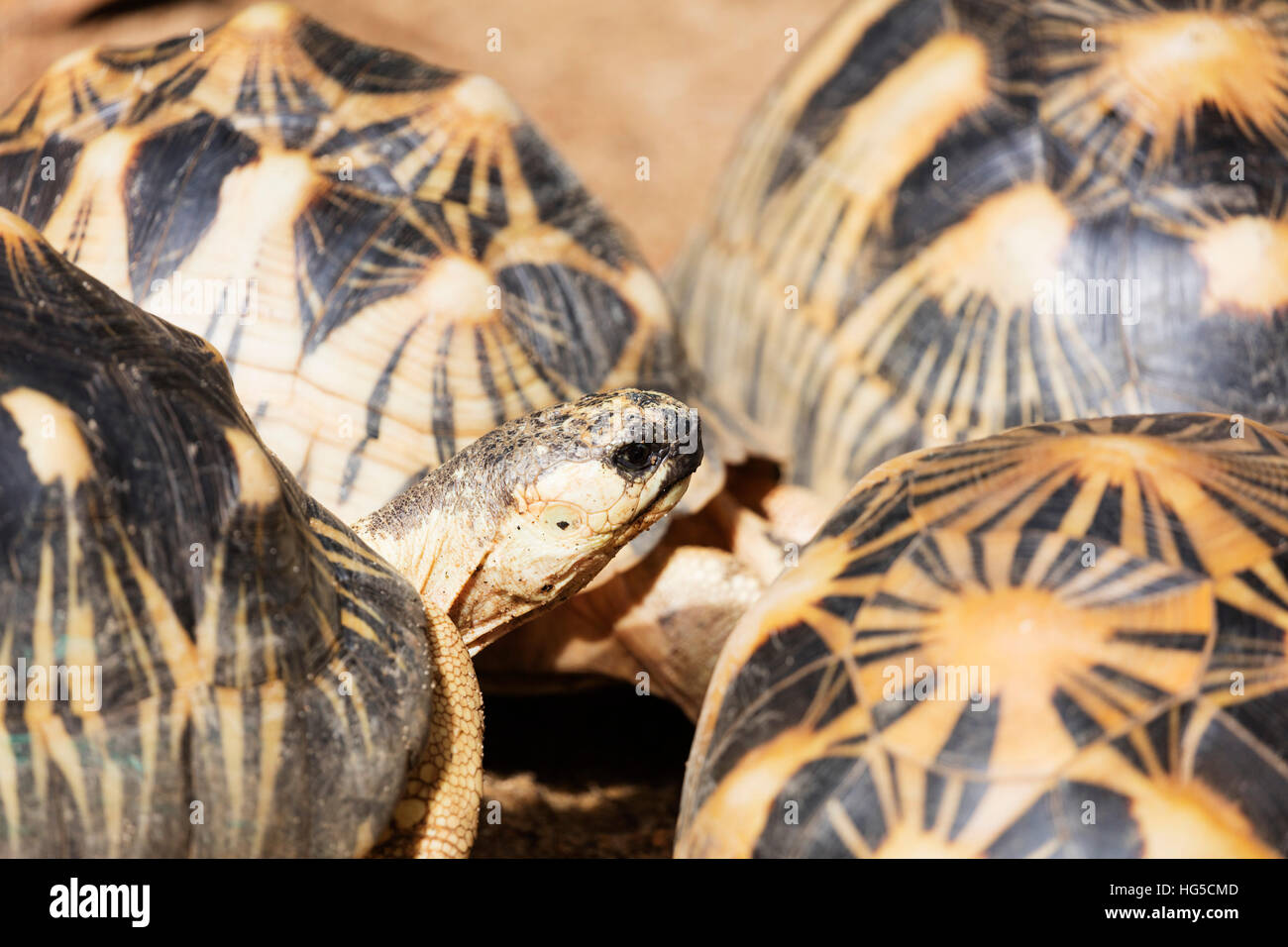 Radiated tortoise, critically endangered in the wild, Ivoloina Zoological Park, Tamatave - Stock Image