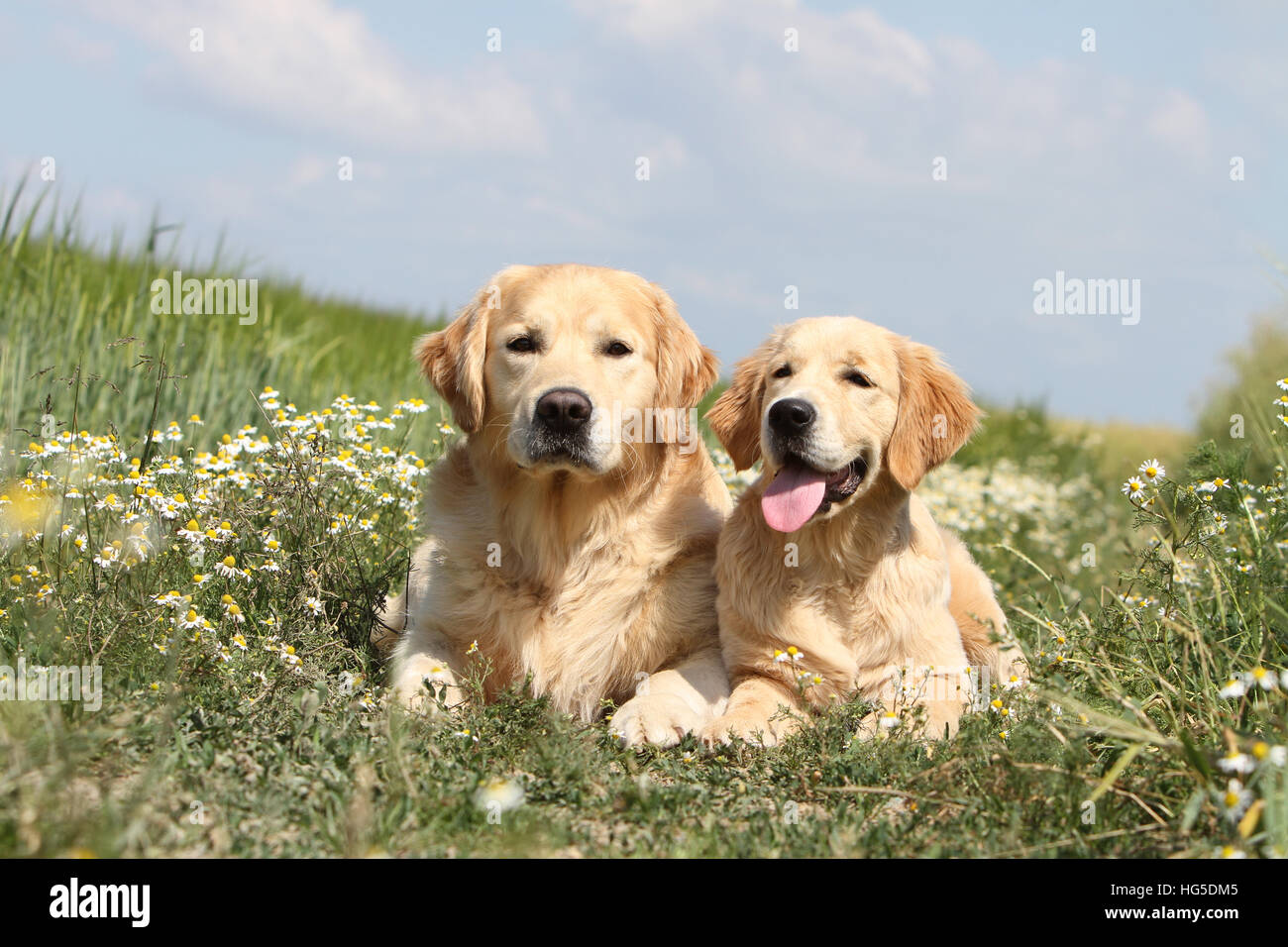 Dog Golden Retriever  two adults lying on the ground - Stock Image