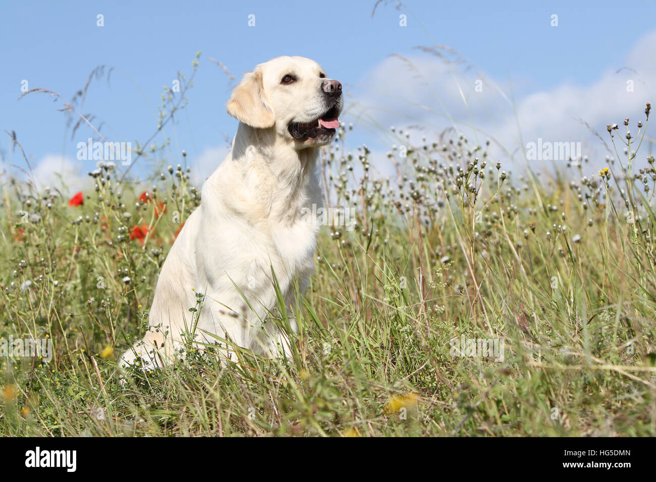Dog Golden Retriever adult sitting in a meadow - Stock Image