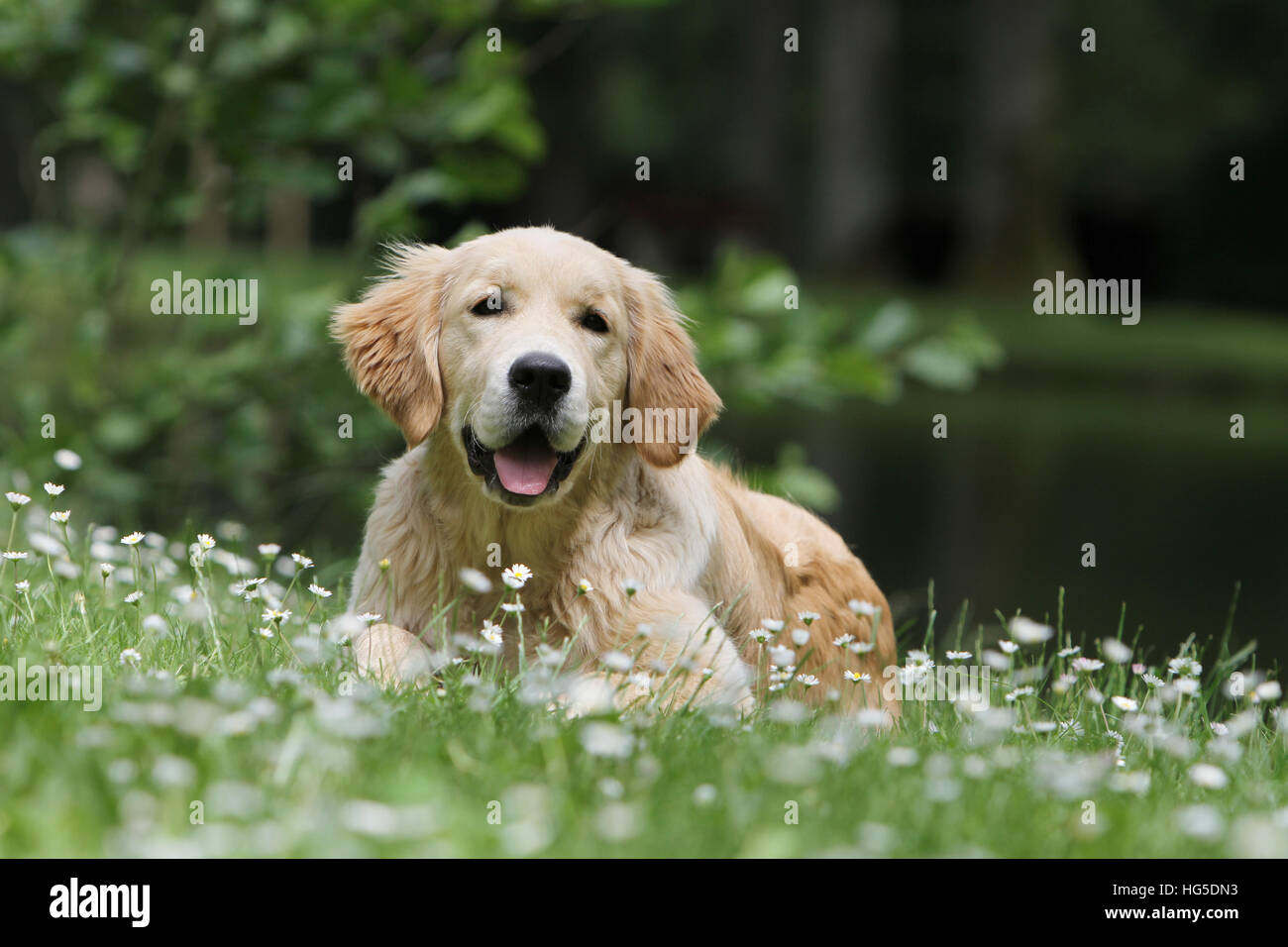 Dog Golden Retriever adult lying in a meadow - Stock Image