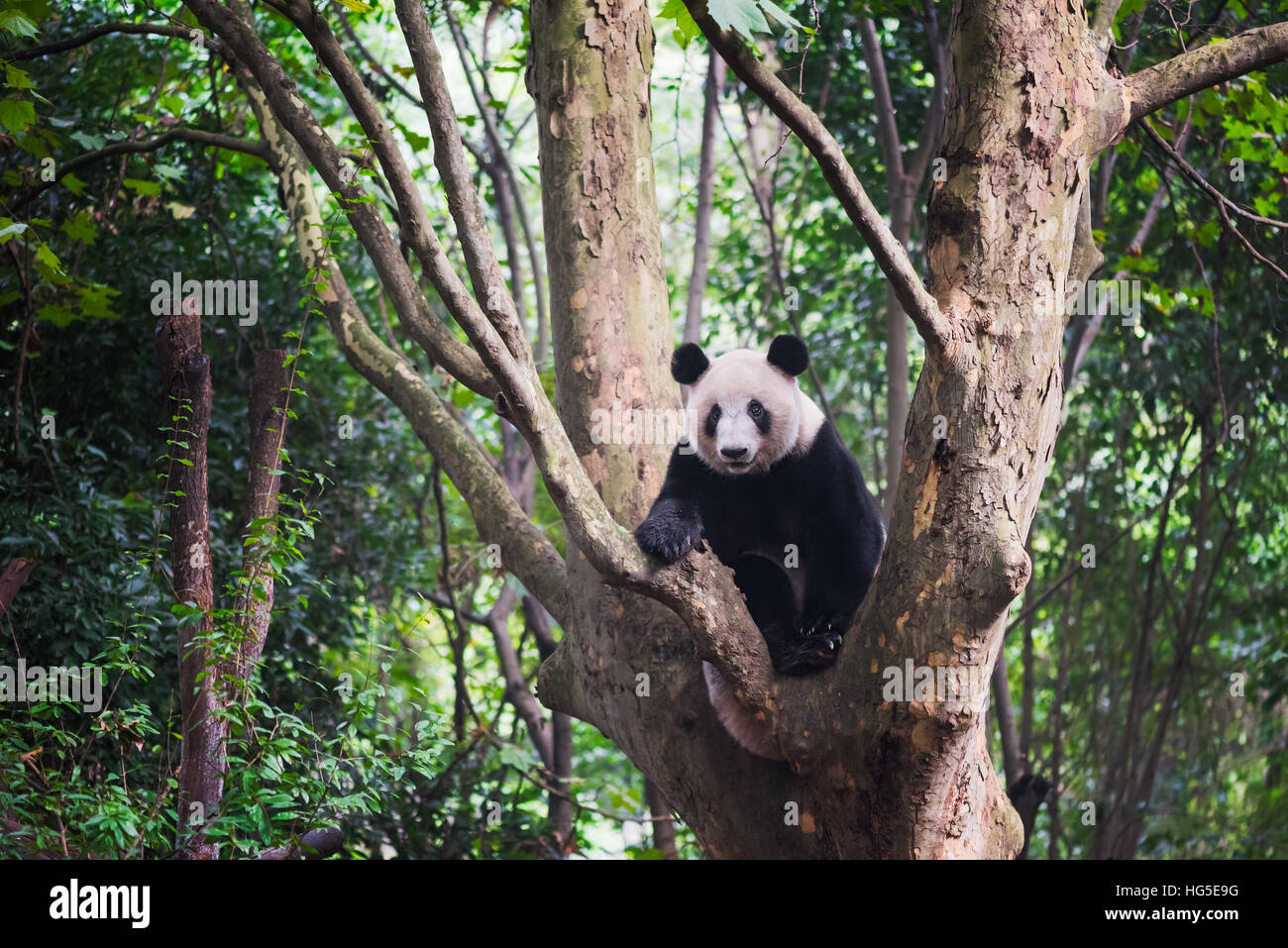 Giant Panda sitting in a tree and looking at camera -  Chengdu, Sichuan Province, Chengdu - Stock Image