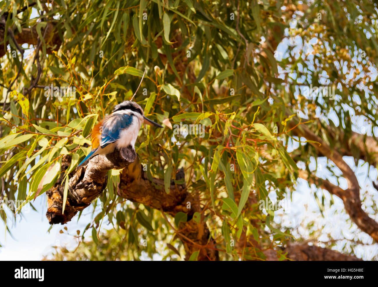 Australian Kookaburra bird standing on a tree - Stock Image