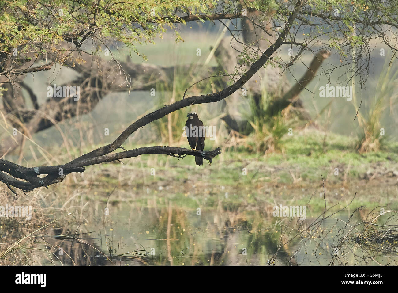 Western marsh harrier (Circus aeruginosus), also known as the Eurasian marsh harrier. Wild life animal. - Stock Image