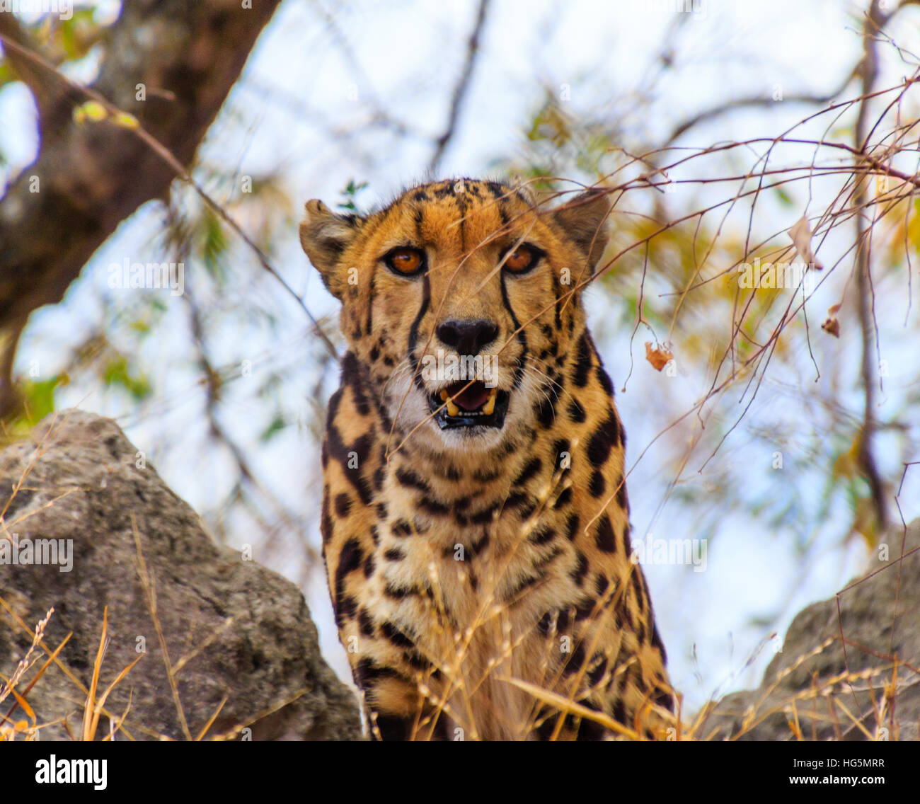 A Cheetah watches you - Stock Image